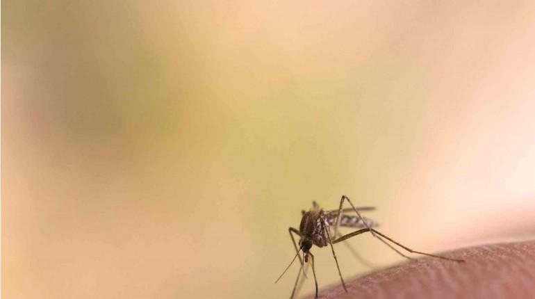 Aedes Aegypti, mosquito transmitiendo más y más virus: el Zika, su cuarto pasajero