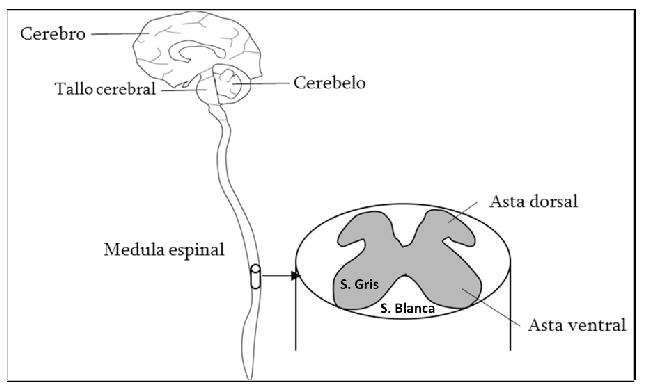El virus de la rabia: un germen que se transporta en contravía